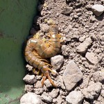 Occasionally we disturb the wildlife while digging near the surface. This big bug will have to find a new home.